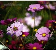 Cosmos bipinnatus 'Mixed Colours' Organic
