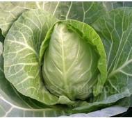 Cabbage 'Cuor di Bue' Organic