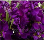 Matthiola incana, 'Purple Heart'