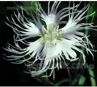 Dianthus superbus alba