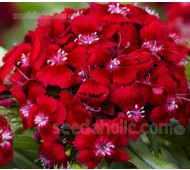 Dianthus barbatus 'Scarlet Beauty'