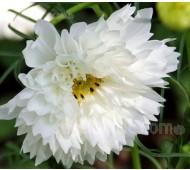 Cosmos bipinnatus 'Double Click Snow Puff'