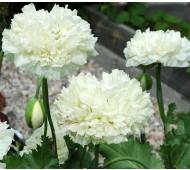 Papaver paeoniflorum 'Double Cream'