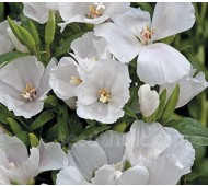 Godetia grandiflora 'Duchess of Albany'