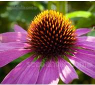 Echinacea purpurea, Organic