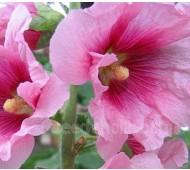 Alcea ficifolia 'Single Mix'