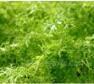 Mustard 'Golden Frills', Organic