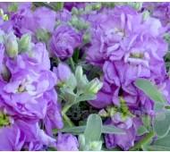 Matthiola 'Cinderella Lavender'