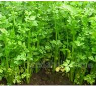 Celery, 'Cutting Leaf Celery', Organic