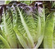 Lettuce 'Little Leprechaun' Organic