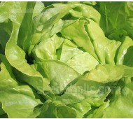 Lettuce 'Suzan', Organic