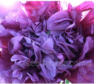 Papaver paeoniflorum 'Lilac Pompom'