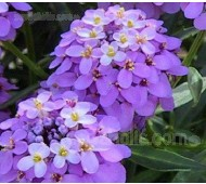 Iberis umbellata 'Lilac' Candytuft