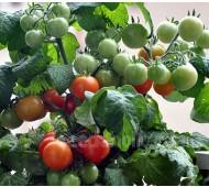 Tomato 'Minibel'
