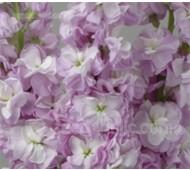 Matthiola incana 'Miracle Lavender'