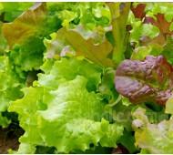 Lettuce - 'Gourmet Lettuce' Mix