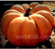 Pumpkin 'Musquée de Provence'
