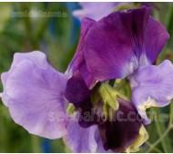 Lathyrus odoratus, Modern Grandiflora 'Moody Blues'