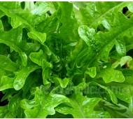 Lettuce 'Catalogna Cerbiatta', Organic