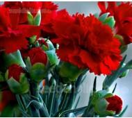 Dianthus caryophyllus, 'Grenadin Scarlet'