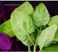 Orach 'Green' Mountain Spinach, Organic