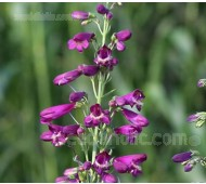Penstemon barbatus 'Twizzle Purple'