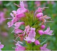 Hyssop, Hyssopus officinalis 'Rosea', Pink Hyssop