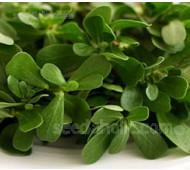 Purslane 'Green Purslane' Organic