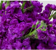 Matthiola 'Cinderella Purple'