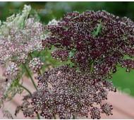 Daucus carota 'Purple Kisses'