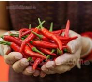 Pepper, Chili Pepper 'Thai Dragon'