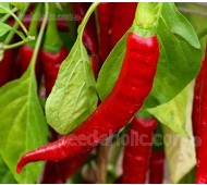 Pepper, Chili Pepper 'Ring of Fire' Organic