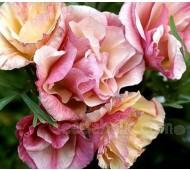 Eschscholzia californica 'Rosa Romantica'
