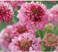 Scabiosa atropurpurea 'Tall Double Rose-Pink'