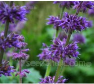 Salvia verticulata 'Purple Fairy Tale'