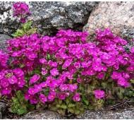 Arabis blepharophylla 'Spring Charm'