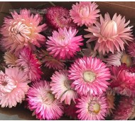 Helichrysum bracteatum 'Silvery Rose'