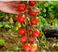Tomato 'Sugar Grape', Organic