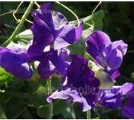 Lathyrus odoratus, Spencer Traditional 'Blue Velvet'