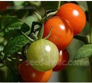 Tomato 'Sweetie'
