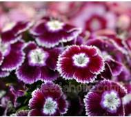 Dianthus barbatus 'Holborn Glory'