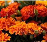 Tagetes patula 'Tangerine'