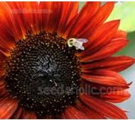 Helianthus annuus 'Velvet Queen Sunflower' Organic