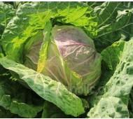 Cabbage 'Violaceo di Verona'