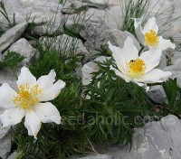 Pulsatilla alpina will tolerate a range of conditions and really hard winters.