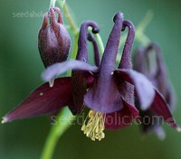 Aquilegia atrata is a beautiful free flowering species that is native to the alpine meadows and forest clearings of Switzerland and Northern Europe.