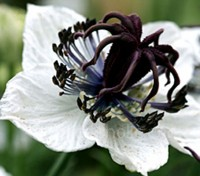 Nigella papillosa 'African Bride' is a most attractive variety. Deep rich purple stamens that highlight pure white blooms.