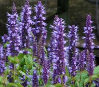 Agastache 'Astello Indigo' is just about the most exciting breakthrough in the Hummingbird Mint family yet