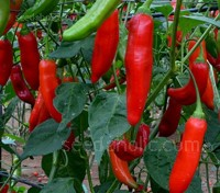 A real rarity, Aji Delight™ is a Capsicum baccatum cultivar with a full baccatum flavour, but no heat.
