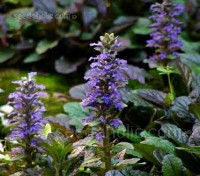 For most of the year Ajuga is a pleasant quiet achiever, but those weeks in spring when the blue flowers appear are simply quite magical.
